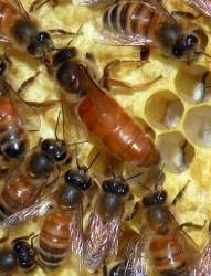 queen bee A