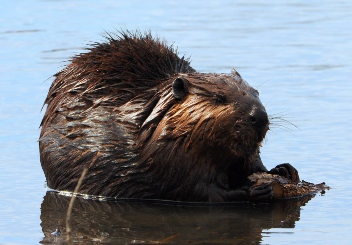 Cornwall Free News Photo of the Day – A Beaver Snacking on a Tree Branch by Calvin Hanson – November 15, 2011
