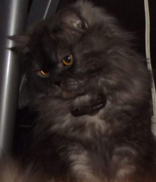 URGENT APPEAL – Lost Cat in Cornwall Ontario – $100 Reward – Needs Daily Medication – 613 935 8548 or 613 363 3000