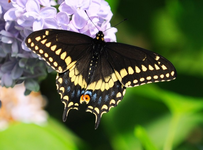 Your Cornwall Free News Photo of the Day – Black Swallowtail Butterfly on Lilacs from Calvin Hanson