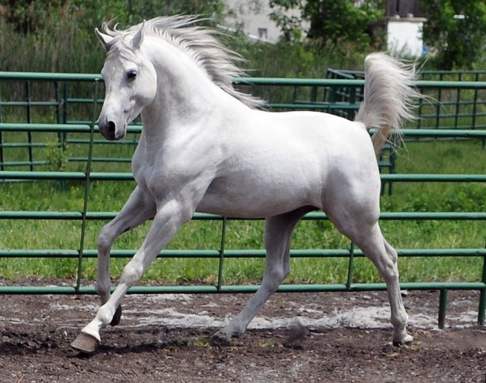 Your Cornwall Free News Photo of the Day – An Arabian Stallion by Calvin Hanson