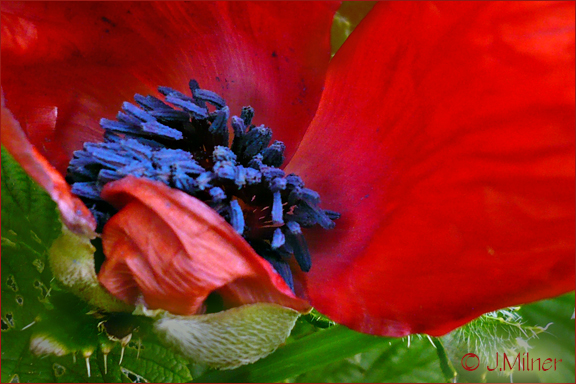 Your Cornwall Free News Photo of the Day from Jacqueline Milner – Poppy in Bloom