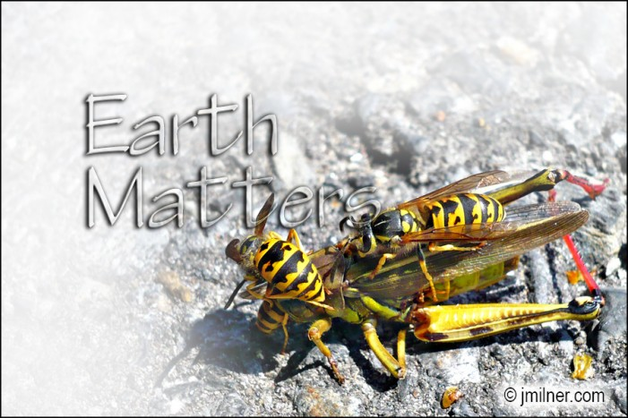 Earth Matters by Jacqueline Milner – Wasp & Nature's Food Chain – September 9, 2012