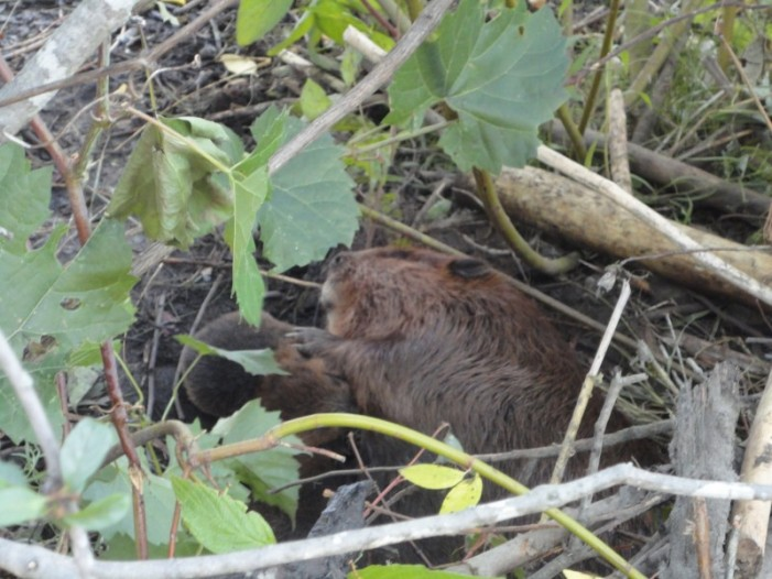 Letter to the Editor – Liz Craik Not Happy with Ottawa Decision to Move Lily & her Kits – BEAVER