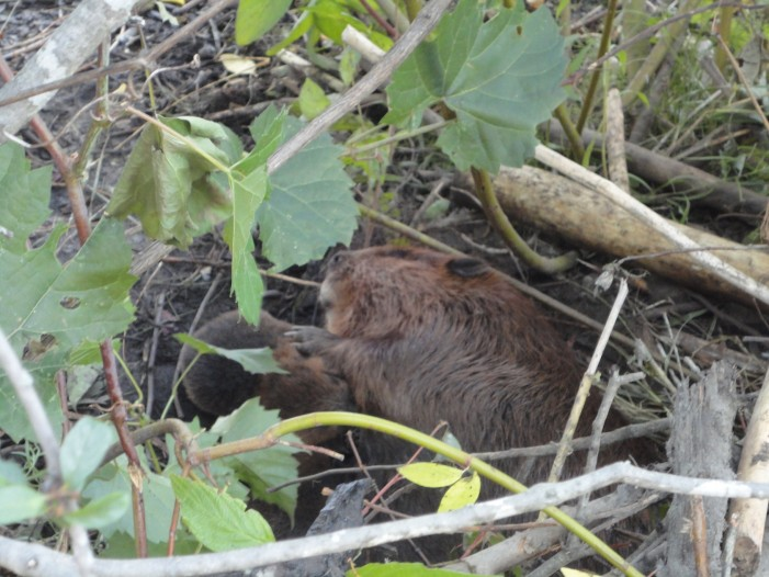 So what did Mayor Watson & the City of Ottawa do with Lily the Beaver & Her Babies? November 1, 2012