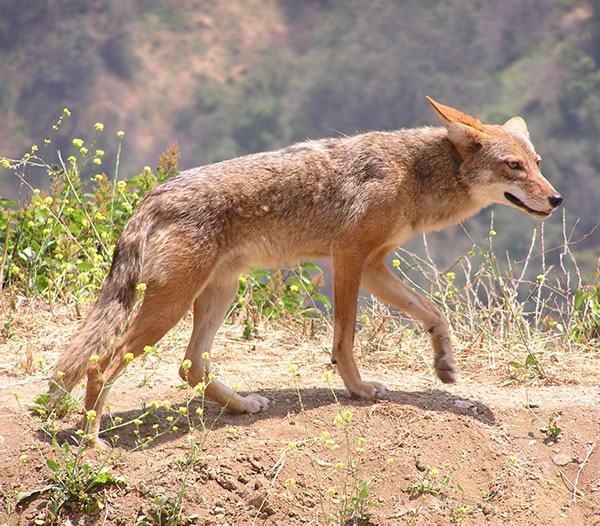 Coyote Trapping in Eamers Corners Triggers Response from Lesley Fox of the Association for the Protection of Fur Bearing Animals