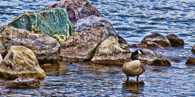 goose ed renkema