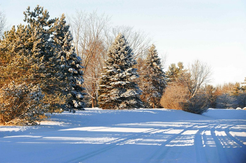 x - Evergreen trees are loaded with fresh snow on Dec 26-2011