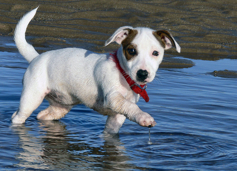 Jack_Russell_Puppy