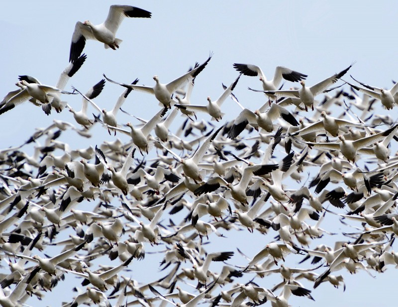Snow Geese - April 2-2013 - Williamstown, Ontario