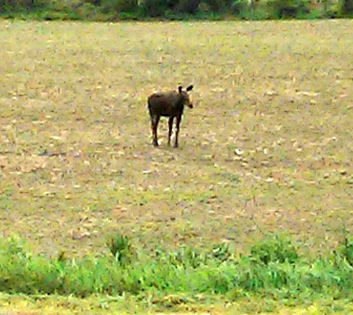 Moose on the Loose in Apple Hill Ontario – Viewer Photo Submission – June 6, 2013