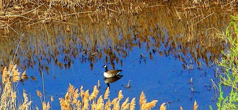 Domtar Duck