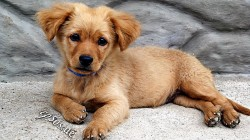 Golden_Retriever_puppy_-_2010
