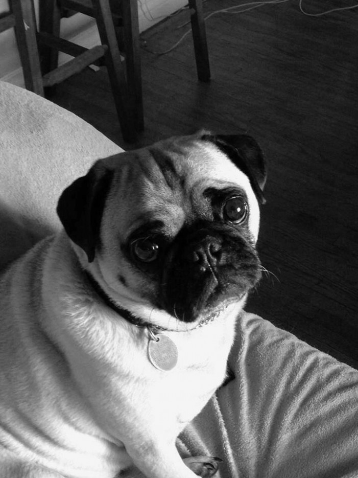 ALERT – MISSING PUG in the LONG SAULT AREA click for details May 31, 2014