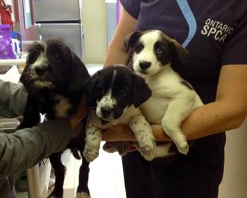 Ontario SPCA Seeks Public's Assistance in Finding the Individual Responsible for dropping Three Puppies at Branch in Cornwall – OCT 23, 2014