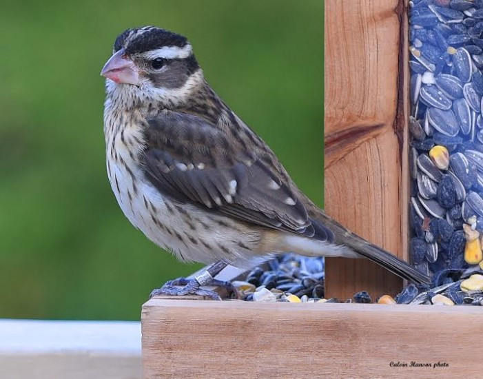 Rose Breasted Grosbeak Flies from Pennsylvania to Cornwall Ontario NOV 14, 2014