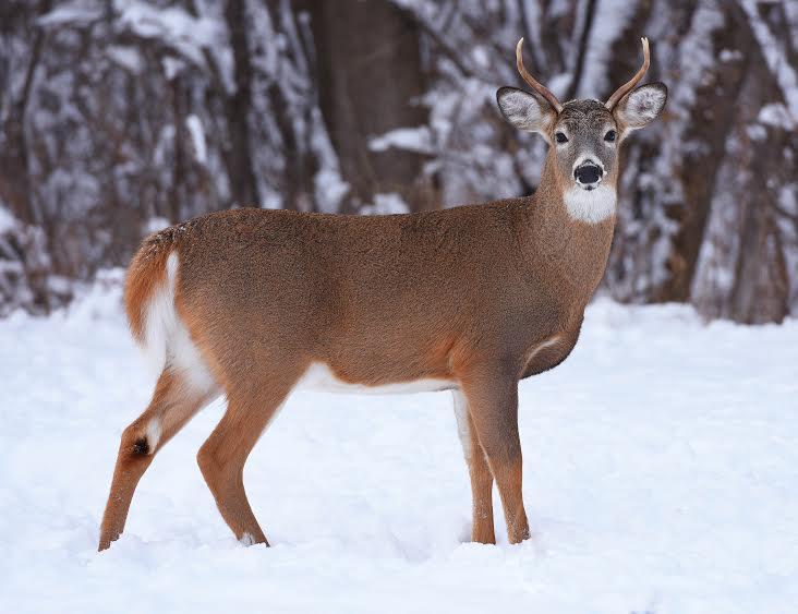deer buck HANSON