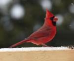 red cardinal HANSON