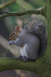 401px-Grey_Squirrel_-_geograph.org.uk_-_686620