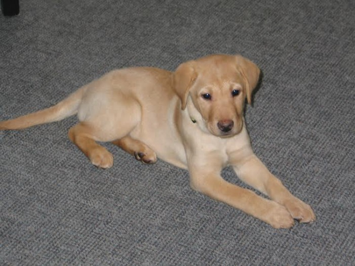 "Bring Some ""Joy"" Into Your Home by Raising a Future Guide Dog FEB 17, 2015"