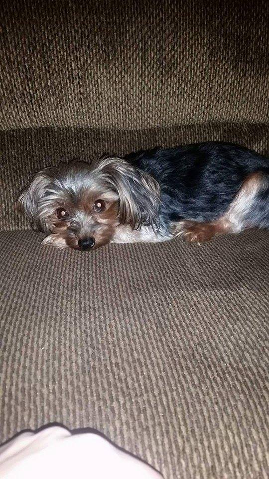 Lola the Yorky Saved by Four Local Women After Abuse Complaint in Cornwall Ontario DEC 1, 2015