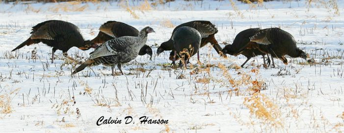 Photos of the Day by Calvin Hanson – Wild Turkeys in Long Sault 010318