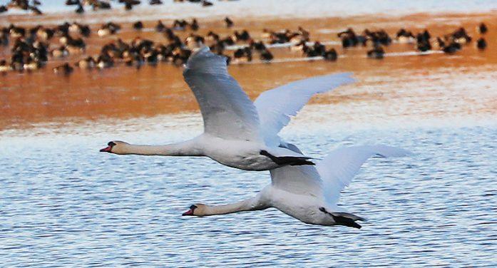 Calvin Hanson Catches Some Rare Birds Before the Snow Hits!  111518