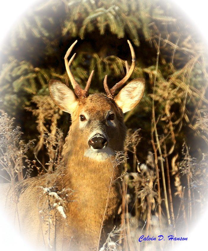 Christmas Deer & Amazing Winter Scenes by Calvin Hanson 122618