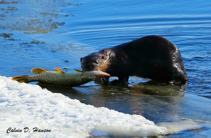 Photographer Calvin Hanson Captures an Otter in South Stormont Dining on Pike 022719