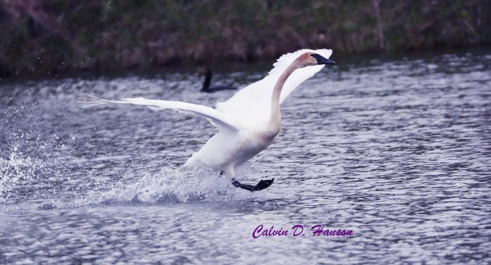Rare TRUMPETER SWANS Photographed by Calvin Hanson in South Stormont 052219
