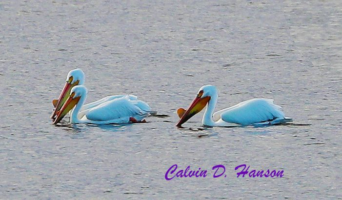 Rare White American Pelicans in Ingleside.  Photos by Calvin Hanson 051219