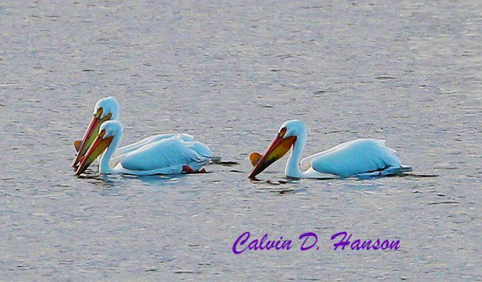 Rare White American Pelicans in Ingleside.  Photos by Calvin Hanson 051219